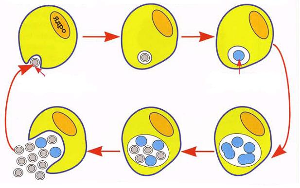 Хламидиоз у женщин при беременности, родах и зачатии