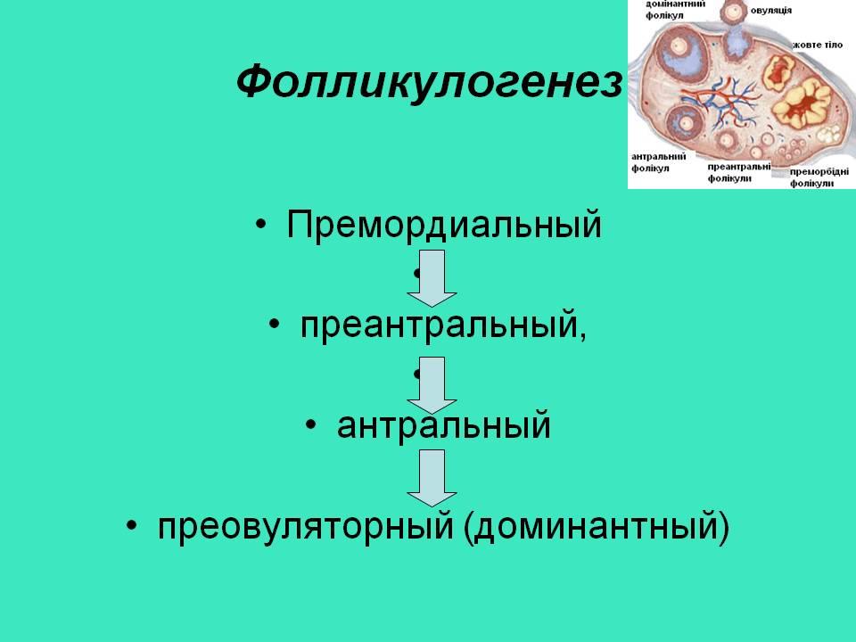 Этапы фолликулогенеза