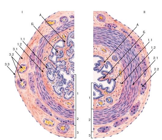 Что показывает гистология матки?