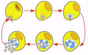 Цикл развития хламидии в организме