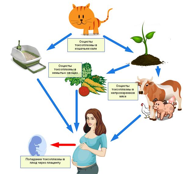 Страшен ли токсоплазмоз при беременности: симптомы, причины, последствия для плода и лечение